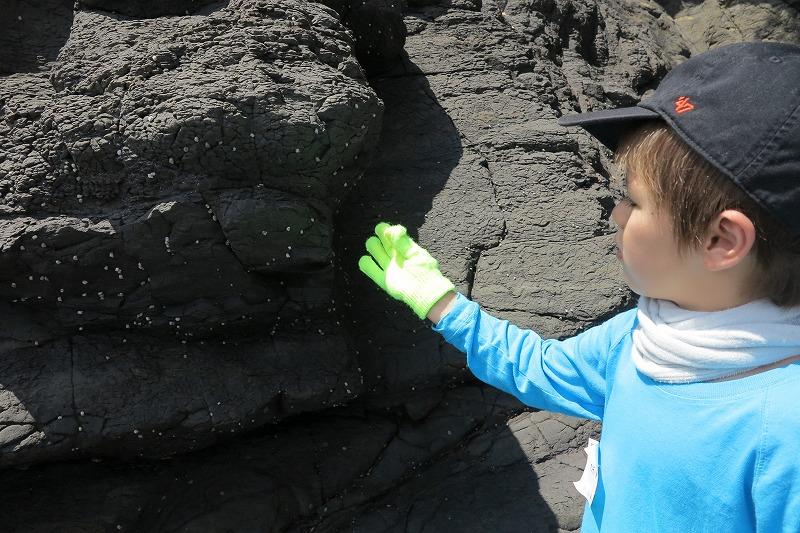 岩にくっつくアラレタマキビ